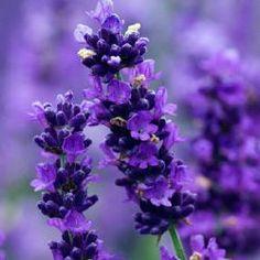 Lavandula angustifolia 'Imperial Gem' kleur donker-violet-paars bloeit van juni tot september 70 cm plaats zon, kalk  Net zo donker als 'Hidcote' en 'Peter Pan', maar groter en voller, statiger door een vleugje zilver in het blad. De bloemstengels zijn iets meer vertakkend en ze heeft een betere habitus dan 'Hidcote'. Veel beter volgens ons en de 'Field Trial' in Wisley. Met dank aan Norfolk Lavender (selectie: 1964, introductie: 1985). Vrij sterk van geur en een krachtige en volle groeier.