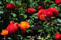 Image result for roses names and pictures