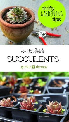 Easily and inexpensively increase your garden succulent collection by using this guide on how to divide succulents (plus some…