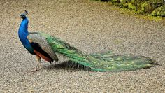 benbobjr posted a photo:  A peacock in the grounds of Gwydir Castle near to Llanrwst, County Conwy, in North Wales.  Although called a castle, it is an example of a Tudor architecture courtyard house or fortified manor house, rather than a traditional castle. There has been a fortification of some sort on the site since AD 600, and in the Middle Ages a large number of skirmishes were fought in this area between the various rival Welsh princes and their forces, the most significant being in…
