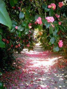 Camellia Allee