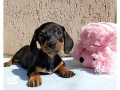 Baby picture. doxie cutie!