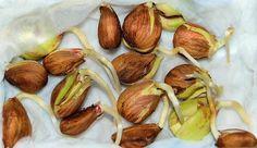 Το ξύπνημα των σπόρων Outdoor Pots, Diy And Crafts, Garlic, Home And Garden, Vegetables, Flowers, Plants, Food, Alternative