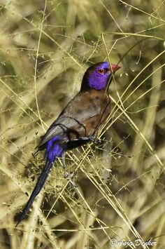 Violet-eared waxbills are found in Angola, Botswana, Mozambique, Namibia, South Africa, Zambia and Zimbabwe. They are considered Least Concern even though they are caught extensively for the wild-caught bird trade. (Anja Denker)