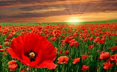 My travel memories of Turkey and Spain are filled with fields of beautiful red poppies. Awe-inspiring and breathtaking.
