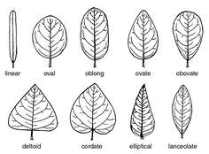 Different names for different shapes, as a method of categorization and identity : Black and White drawing illustrating leaf shapes of broad leaves