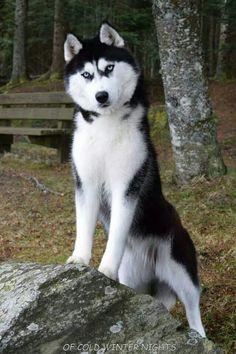 #Siberian #Husky standing on a rock.