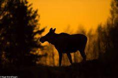 Bilderesultat for elgbilder Moose Art, Celestial, Animals, Outdoor, Outdoors, Animales, Animaux, Animal, Outdoor Games