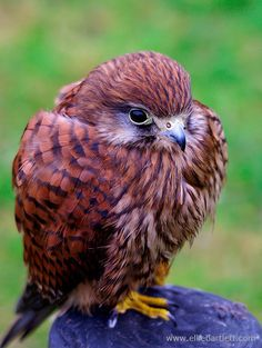 CAPTIVE Common Kestrel Falco tinnunculus The Raptor Foundation, Cambs, UK. Kestrels are the only bird of prey that can hover for a substantial amount of time. Kestrels can see in UV and they use th...
