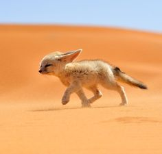 The fennec or desert fox, is a canine mammal species of the genus Vulpes, which inhabits the Sahara Desert and Arabia. This is the smallest species of the family Canidae.