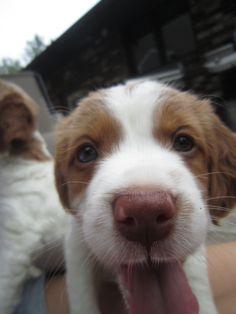 Brittany Spaniel! a mini Cuddie Bud!!