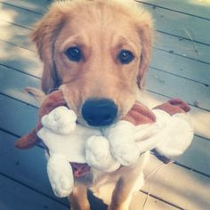 don't those eyes just melt your heart?! Golden Retriever