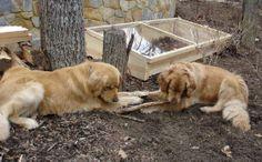 Build a Cold Frame in Your Garden Cold Frame, Labrador Retriever, Building, Garden, Animals, Labrador Retrievers, Garten, Animales, Animaux