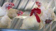Muna käteen kaupassa: Numero kyljessä kertoo, miten kana on elänyt.