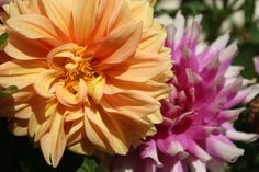 These are more common dahlia varieties.