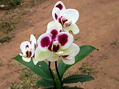 Descubra a hora de trocar a orquídea de vaso