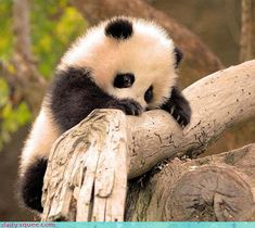 Fluffy Panda Cub