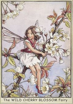 Wild Cherry Blossom Fairy - Mary Cicely Barker. Always a favourite fairy as a child as mum planted us the cherry blossom tree.                                                                                                                                                      More