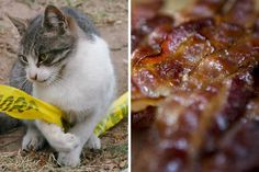 Man calls police because his girlfriend let her cat eat his bacon, demands their arrests