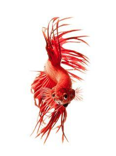 fish photography, Visarute Angkatavanich, color, colour, animals