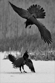 Black and White nature bird fight