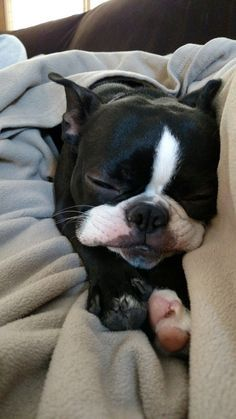 F Yeah, Boston Terriers : Photo