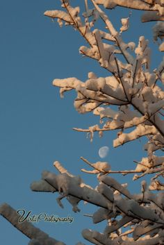 snowcovered-branch-reaching-for-moon
