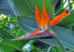 Bird of Paradise Flower by njchow82, via Flickr