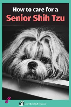 Tips for Senior Shih Tzu care. A Shih Tzu between the age of 9 and 10 are considered a senior dog. Older dogs require special care and has unique needs It is important to pay close attention any changes in behavior that may occur #seniordogcare #shihtzu #everythingshihtzu, #doghealth Small Mixed Breed Dogs, Cutest Small Dog Breeds, Best Small Dogs, Cute Small Dogs, Cute Dogs, Shih Tzu Poodle, Shih Tzu Puppy, Perro Shih Tzu, Puppy Barking