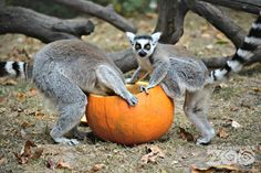 Happy Halloween from ZooBorns! See more photos of animals & pumpkins at ZooBorns.com and at http://www.zooborns.com/zooborns/2015/10/lemurs-tigers-and-pumpkins-oh-my.html