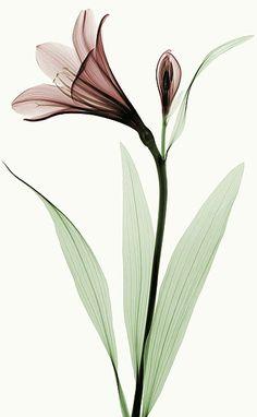 Lily I- Robert Coop imageconscious.com