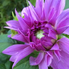 I'm huge fan of #dahlias : they are easy to grow and totally light up the landscape! #gardenchat