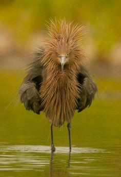 Reddish egret by Pini Bini