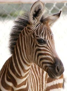 Baby zebra portrait style image