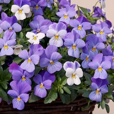 Viola Teardrops Yesterday, Today and Tomorrow - Plant Me Now