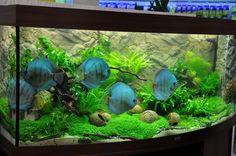 aquarios de discus - Pesquisa Google