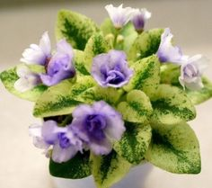 African-Violet-Robs-Chilly-Willy - leaves arrived on 12-05-16 and I have wanted this one to add to my collection of Rob's minis for quite some time!