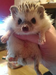 Because hedgehogs are awesome. Pygmy Hedgehog, Baby Hedgehog, Cute Baby Animals, Animals And Pets, Puppies And Kitties, Funny Animal Pictures, My Animal, Pet Birds, Hedgehogs