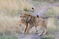 Zeit der Zärtlichkeit. | Masai Mara. | Kenia. |  www.ingogerlach.com