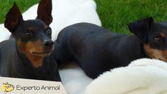 El perro Pinscher miniatura