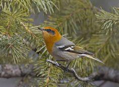 Olive Warbler (Peucedramus taeniatus) male