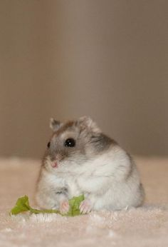 Hamster thinking and eating salad on a fur. (via Instagram)
