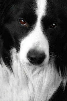 Sweet face-Border Collie