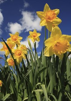 "I Wandered Lonely as a CloudI WANDERED LONELY AS A CLOUD ""I wandered lonely as a cloud / That floats on high o'er vales and hills, / When all at once I saw a crowd, / A host of golden daffodils"""