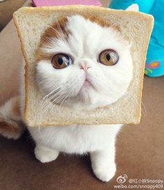 The Toast Cat ~