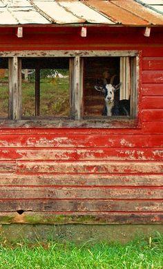 window, full farmer, goat, the farm, hous, red barns, country barns