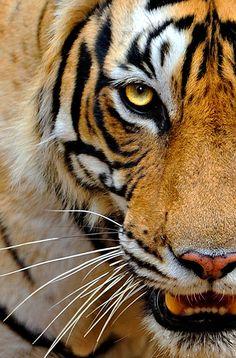 Tigris byCraig Jones