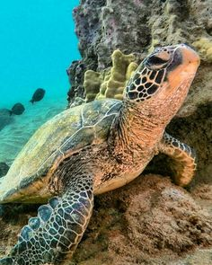 How Long do Tortoises Live? The Life of a Tortoise Sea Turtle Pictures, Baby Sea Turtles, Turtle Baby, Reptiles, Sea Turtle Quilts, Fauna Marina, Dauphin Island Sea Lab, Tortoise Turtle, Water Animals