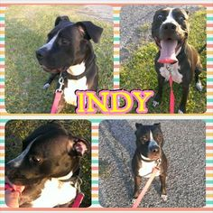 My name is Indy. I'm a1 1/2 yr old Boxer/Am Staff mix. I am house trained, crate trained,& I walk very well on the leash. I am extremely hyper but I am a good girl, incredibly smart and will do anything for a treat! I need a large yard because I LOVE to run. My absolute favorite is WATER!!!! Hope I am the family member you are searching for! (Located in West Conroe, TX) *More info: http://www.aarfhouston.org/animals/detail?AnimalID=5651772#prettyPhoto