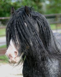 Gypsy MVP | Bellagio | Gypsy Vanner Stallion | Blue Roan
